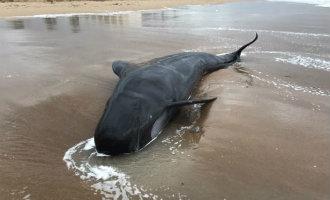 Dode Grijze Dolfijn Van Vijf Meter Aangespoeld Op Het Strand Van Dénia