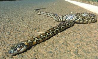 Meer Dan 300 Slangen Op Formentera En Bijna 500 Slangen Op Ibiza Gevangen In 2016