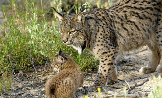 Aantal lynxen neemt toe in Spanje en is zelfs vier keer meer dan aan het begin van deze eeuw