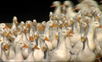 Nieuwe Gevallen Van Vogelgriep In Catalonië