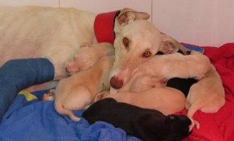 Vervolgverhaal over de Galgo hond in Vera die met gebroken poot haar puppies wist te redden