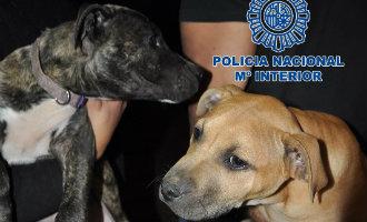 Politie Tenerife Rolt Bende Op Die Hondengevechten Organiseerde En Redt Daarbij 230 Honden Van De Dood