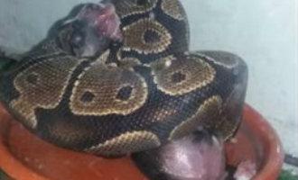 Vrouw in Granada aangehouden voor het voeden van levende puppies en kittens aan een python slang