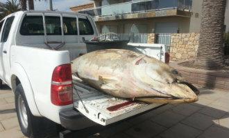 250 kilo wegende blauwvintonijn gevonden op strand kustplaats Cambrils