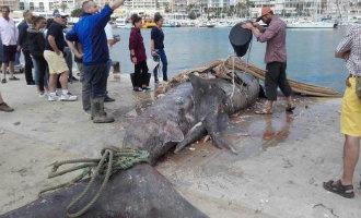 Vissers uit Calpe vangen een 4 ton wegende reuzenhaai van acht meter lang