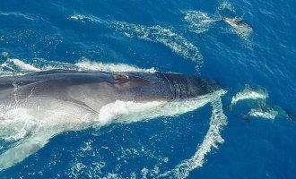Dolfijnen en walvis zwemmen samen voor de kust van Barcelona (video)