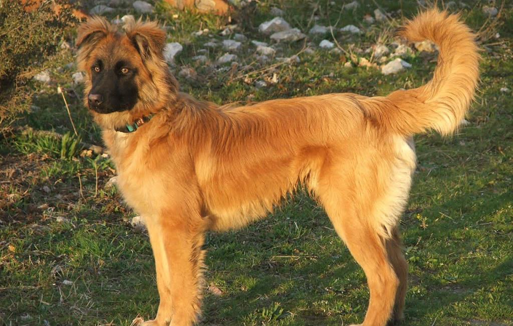 De 7 populairste Spaanse hondenrassen op rij