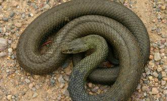Slangen vallen nog steeds niet geleverd op Ibiza terwijl het aantal slangen maar blijft toenemen