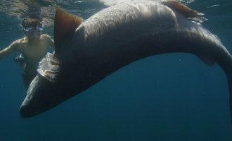 Vier meter lange dode stompsnuitzeskieuwshaai gevonden voor de kust van Formentera