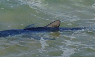2 meter lange haai voor de kust en 1,5 meter lange slang in het centrum van Valencia gevangen
