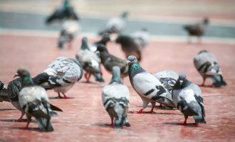 Duizenden Nederlandse en Belgische duiven vermist na internationale marathon vlucht vanuit Barcelona