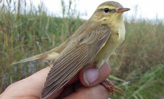 Deze kleine vogel vloog ontzettend snel de 2.400 kilometer van zuid Spanje naar Zweden