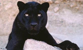 Loopt er in de provincie Guadalajara een panter of luipaard rond?