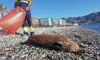 Het mysterie van het dode wilde zwijn op het strand van Almuñecar