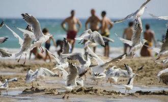Meer meeuwen dan inwoners in de kustplaats Benidorm