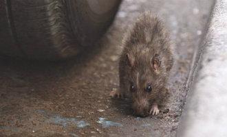 Ibiza stad heeft te maken met een ratten invasie