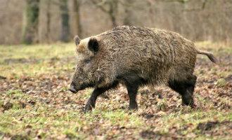 Politie opent jacht op individuen die een wild zwijn in het ravijn duwen in Asturië