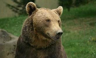 Zoektocht naar gewonde bruine beer na jachtpartij op wilde zwijnen in Cantabrië