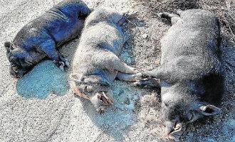 """Boswachters schieten in Murcia drie """"cerdalíes"""" dood vanwege gevaarlijke tanden"""