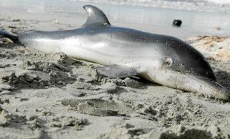 Dolfijnen gevonden op stranden van Ibiza