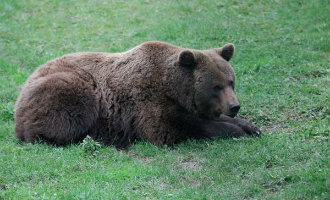 Het boegbeeld van de strijd tegen het uitsterven van de bruine beer Tola overleden