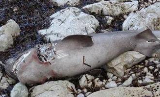 Dode haai gevonden op een strand van Jávea