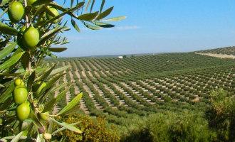 """Bezorgdheid over de """"olijfbomenpest"""" die de Spaanse olijfbomen bedreigd"""