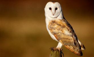 SEO/Birdlife kiest de kerkuil tot vogel van het jaar in Spanje