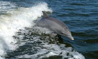 Spaanse kustwacht wordt voor de kust van Alicante vergezeld door dolfijnen (video)