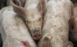 Belgische supermarkten werken niet meer met Spaanse vleesleverancier na schokkende beelden televisie