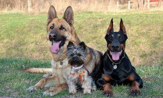 Afknippen van staarten en oren bij honden vanaf nu verboden in Spanje