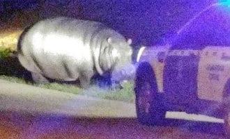 Politie zoekt en vindt loslopend nijlpaard in Extremadura