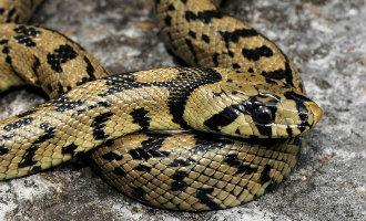 Dit zijn de meest voorkomende slangen in de provincie Alicante