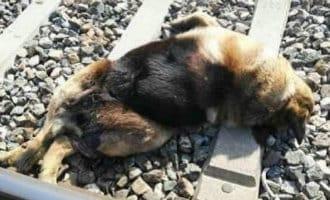 Politie achterhaalt identiteit van de persoon die 20 honden op het treinspoor vastbond in Sevilla