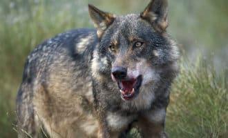 Manifestatie in Madrid ter verdediging van de Iberische wolven in Spanje