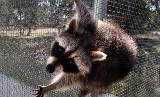Milieuwetenschappers vragen om een verbod op wasberen als huisdier in Spanje