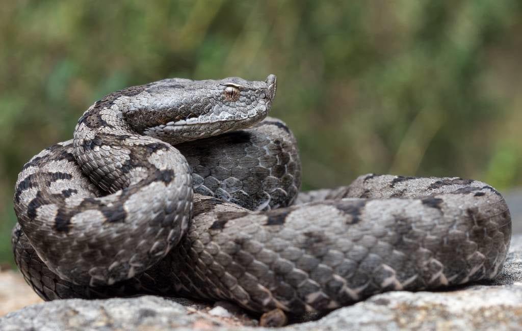 De meest voorkomende slangen in de provincie Alicante
