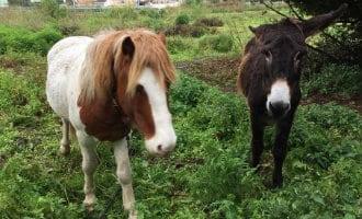Het probleem van de in de steek gelaten paarden in Galicië