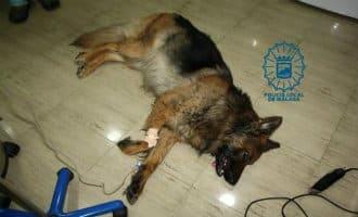 Herdershond die aan een touw achter auto aan gesleept werd overleden in Málaga