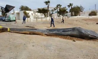 Dode walvis op het strand in Murcia had 29 kilo aan plastic in zijn maag