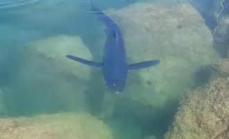 Haai van meer dan twee meter gezien in de haven van Torrevieja (video)
