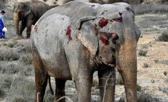 Loslopende olifanten na ongeval op de A-30 snelweg in Spanje