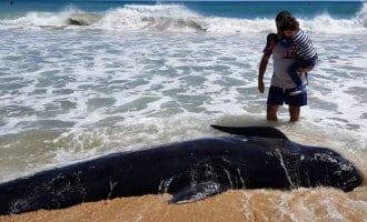 Dode walvis/dolfijn aangespoeld op het Arenales strand in Elche