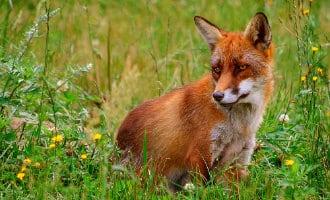 12.000 dode vossen per jaar in Galicië