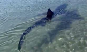 Haai van meer dan drie meter voor de kust van Fuengirola gezien
