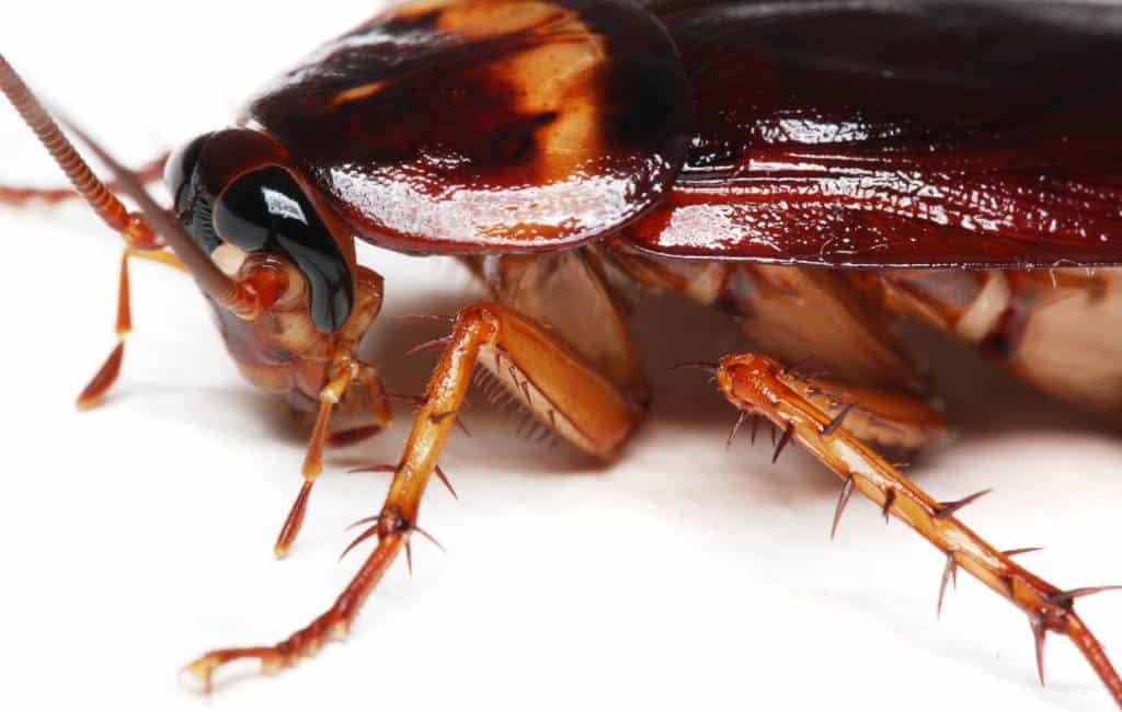 De meest voorkomende kakkerlakken in Spanje