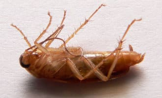 Meer kakkerlakken verwacht deze zomer in Spanje