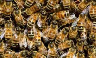 In Kritieke toestand na 2.000 bijensteken in Ávila