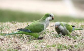 Het verhaal van de groene parkieten in Spanje