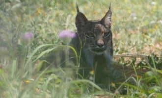 Lynx loopt van zuid Portugal naar Barcelona